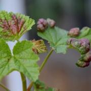 2021 – Gartentipp 22 – Blätter zeigen Blasen