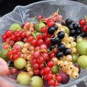 2021 – Gartentipp 26 – Sauer macht lustig: ein bunter Teller mit Johannis- und Stachelbeeren