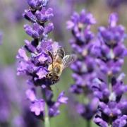 2021 – Gartentipp 27 – Lavendel – der Traum vom Süden