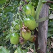 2021 – Gartentipp 30 – Trauer im Tomatenbeet