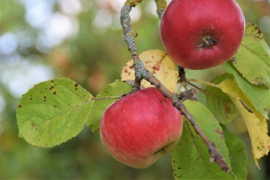2021 – Gartentipp 41 – Sorte unbekannt? Apfeldetektive helfen!